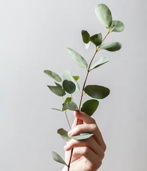 photo of eucalyptus