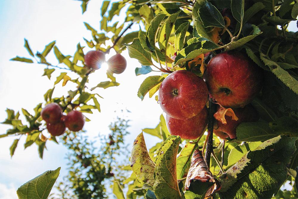 Photo of apple orchard tress