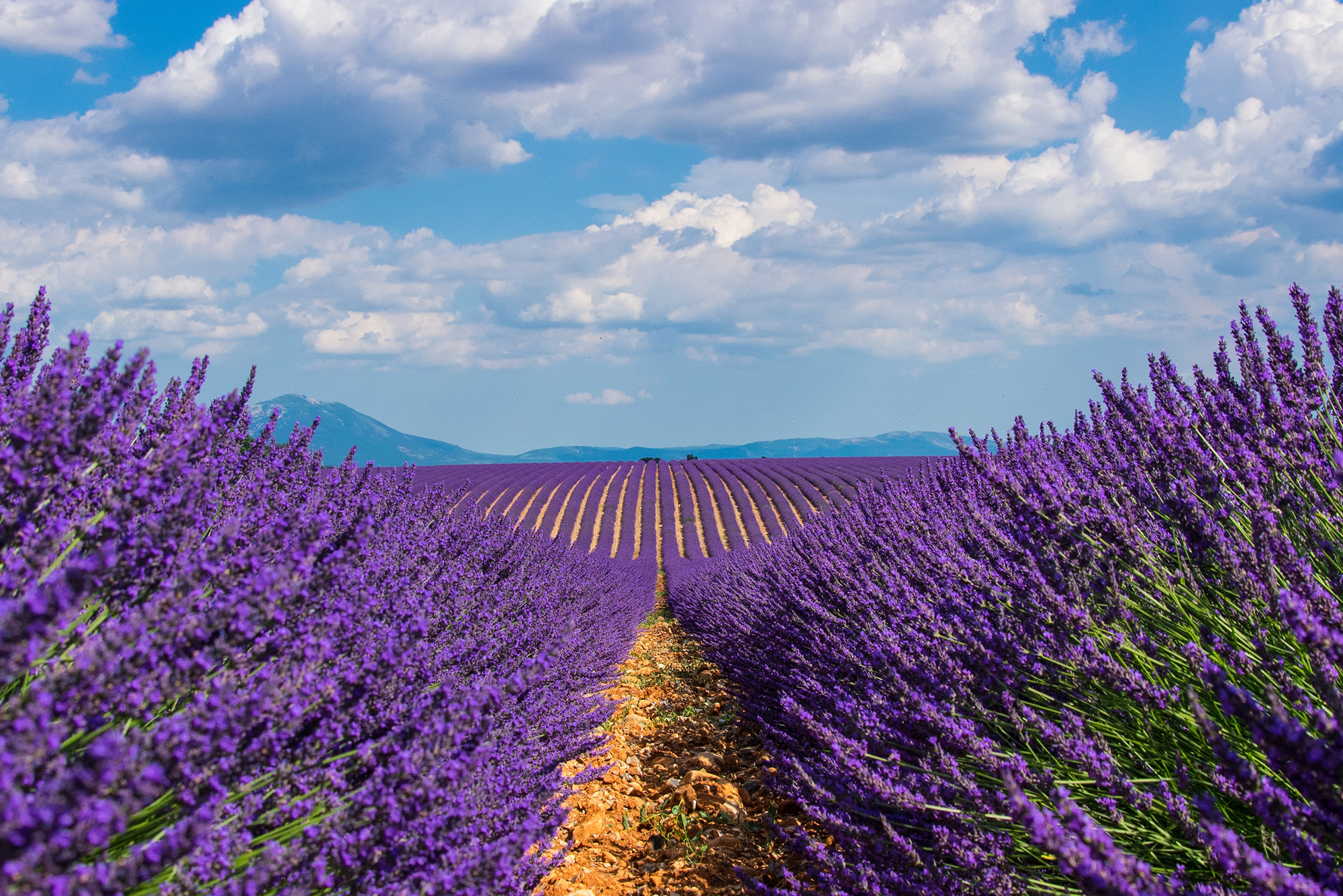 Field of lavender with a sunny overcast sky in the background